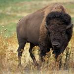 bison photographié à Orchimont (commune de Vresse-sur-Semois